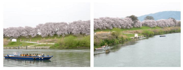 淀川河川公園背割堤地区のさくらであいクルーズ