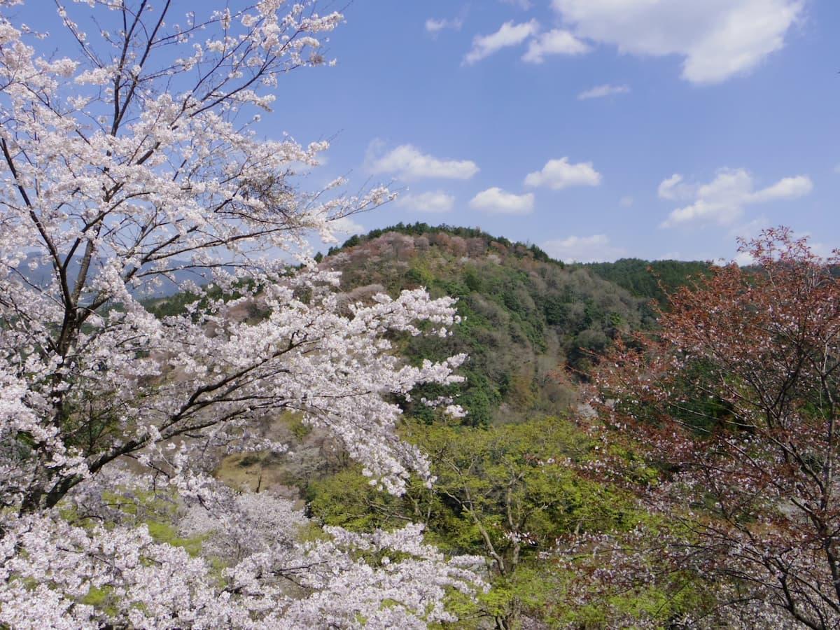 桜 見頃 2020 吉野